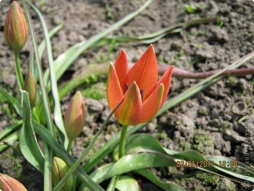 Здравствуйте, Дорогие жители Страны! Очень захотелось поделиться красками Весны с Вами! Любители цветов, я надеюсь, просмотр будет приятным! Спасибо всем кто забежал на огонек! фото 13