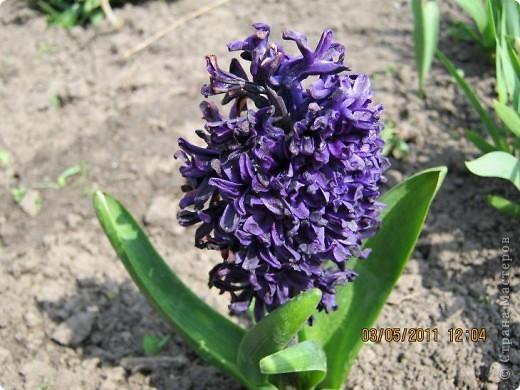 Здравствуйте, Дорогие жители Страны! Очень захотелось поделиться красками Весны с Вами! Любители цветов, я надеюсь, просмотр будет приятным! Спасибо всем кто забежал на огонек! фото 4