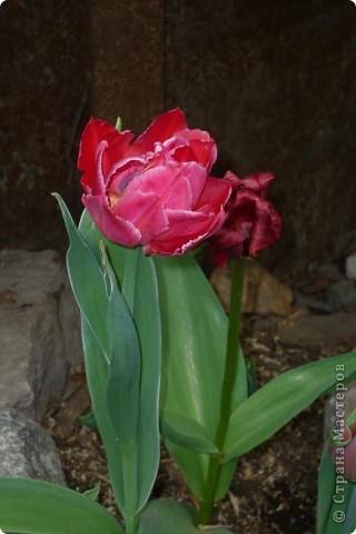 Сначала тюльпанное королевство: фото 1