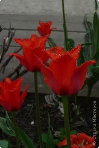 Сначала тюльпанное королевство: фото 7