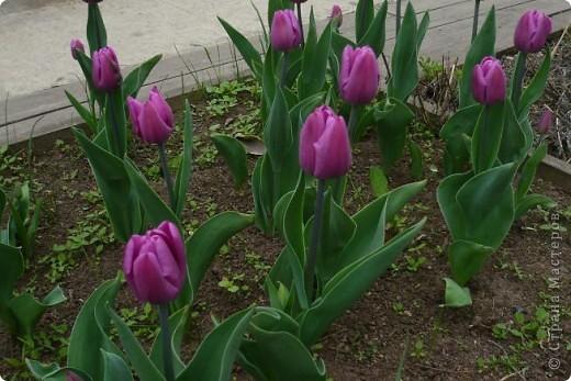 Сначала тюльпанное королевство: фото 8