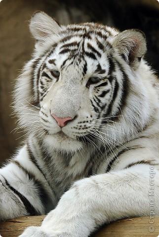 У тигра существует известная мутация, которая приводит к появлению особей с полностью белой окраской — бенгальские тигры с чёрно-коричневыми полосами на белом мехе и голубыми глазами. Такая окраска очень редко встречается среди диких животных, но является относительно распространённой в популяциях, содержащихся в неволе. Частота появления белых тигров — 1 особь на 10 000 с нормальной окраской. фото 1