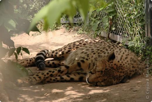 У тигра существует известная мутация, которая приводит к появлению особей с полностью белой окраской — бенгальские тигры с чёрно-коричневыми полосами на белом мехе и голубыми глазами. Такая окраска очень редко встречается среди диких животных, но является относительно распространённой в популяциях, содержащихся в неволе. Частота появления белых тигров — 1 особь на 10 000 с нормальной окраской. фото 2