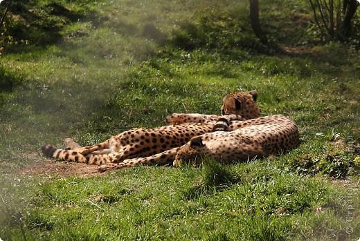 У тигра существует известная мутация, которая приводит к появлению особей с полностью белой окраской — бенгальские тигры с чёрно-коричневыми полосами на белом мехе и голубыми глазами. Такая окраска очень редко встречается среди диких животных, но является относительно распространённой в популяциях, содержащихся в неволе. Частота появления белых тигров — 1 особь на 10 000 с нормальной окраской. фото 3