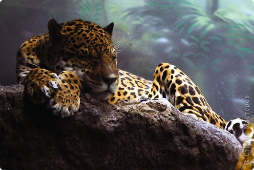 У тигра существует известная мутация, которая приводит к появлению особей с полностью белой окраской — бенгальские тигры с чёрно-коричневыми полосами на белом мехе и голубыми глазами. Такая окраска очень редко встречается среди диких животных, но является относительно распространённой в популяциях, содержащихся в неволе. Частота появления белых тигров — 1 особь на 10 000 с нормальной окраской. фото 7