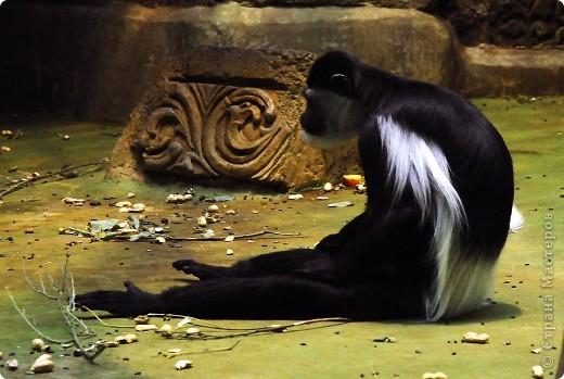 У тигра существует известная мутация, которая приводит к появлению особей с полностью белой окраской — бенгальские тигры с чёрно-коричневыми полосами на белом мехе и голубыми глазами. Такая окраска очень редко встречается среди диких животных, но является относительно распространённой в популяциях, содержащихся в неволе. Частота появления белых тигров — 1 особь на 10 000 с нормальной окраской. фото 30