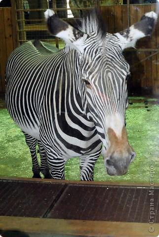 У тигра существует известная мутация, которая приводит к появлению особей с полностью белой окраской — бенгальские тигры с чёрно-коричневыми полосами на белом мехе и голубыми глазами. Такая окраска очень редко встречается среди диких животных, но является относительно распространённой в популяциях, содержащихся в неволе. Частота появления белых тигров — 1 особь на 10 000 с нормальной окраской. фото 37