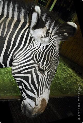 У тигра существует известная мутация, которая приводит к появлению особей с полностью белой окраской — бенгальские тигры с чёрно-коричневыми полосами на белом мехе и голубыми глазами. Такая окраска очень редко встречается среди диких животных, но является относительно распространённой в популяциях, содержащихся в неволе. Частота появления белых тигров — 1 особь на 10 000 с нормальной окраской. фото 38