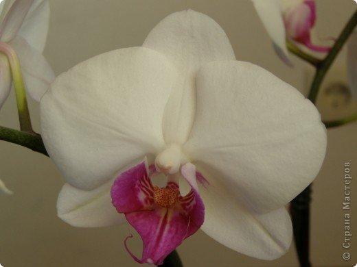 Мастер-класс Лепка МК орхидея Фаленопсис Фарфор холодный фото 53