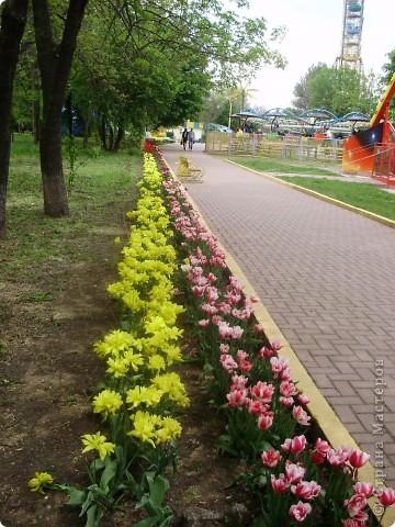 Каждый год в начале мая у нас в городе в дендропарке цветут тюльпаны . Описать эту красоту нельзя , ее нужно видить . Идешь по аллеям , смотришь по сторонам и душа радуется , сразу поднимается настроение . Тюльпаны все разные , глаза разбегаются . Весна -  чудесная  пора  года .Все цветет , буяет и понимаешь , что жизнь прекрасна . фото 26
