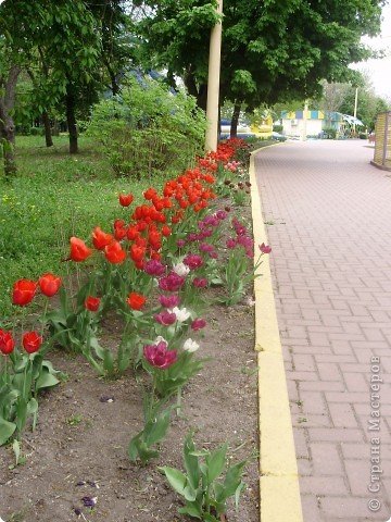 Каждый год в начале мая у нас в городе в дендропарке цветут тюльпаны . Описать эту красоту нельзя , ее нужно видить . Идешь по аллеям , смотришь по сторонам и душа радуется , сразу поднимается настроение . Тюльпаны все разные , глаза разбегаются . Весна -  чудесная  пора  года .Все цветет , буяет и понимаешь , что жизнь прекрасна . фото 27