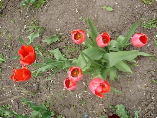 Каждый год в начале мая у нас в городе в дендропарке цветут тюльпаны . Описать эту красоту нельзя , ее нужно видить . Идешь по аллеям , смотришь по сторонам и душа радуется , сразу поднимается настроение . Тюльпаны все разные , глаза разбегаются . Весна -  чудесная  пора  года .Все цветет , буяет и понимаешь , что жизнь прекрасна . фото 2