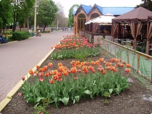 Каждый год в начале мая у нас в городе в дендропарке цветут тюльпаны . Описать эту красоту нельзя , ее нужно видить . Идешь по аллеям , смотришь по сторонам и душа радуется , сразу поднимается настроение . Тюльпаны все разные , глаза разбегаются . Весна -  чудесная  пора  года .Все цветет , буяет и понимаешь , что жизнь прекрасна . фото 18