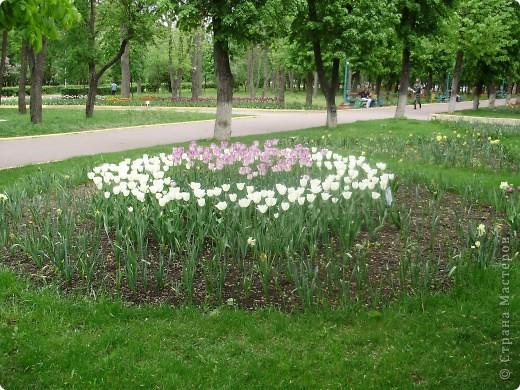 Каждый год в начале мая у нас в городе в дендропарке цветут тюльпаны . Описать эту красоту нельзя , ее нужно видить . Идешь по аллеям , смотришь по сторонам и душа радуется , сразу поднимается настроение . Тюльпаны все разные , глаза разбегаются . Весна -  чудесная  пора  года .Все цветет , буяет и понимаешь , что жизнь прекрасна . фото 19