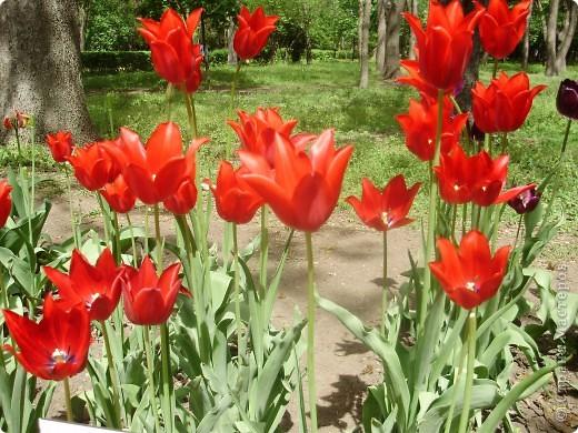 Каждый год в начале мая у нас в городе в дендропарке цветут тюльпаны . Описать эту красоту нельзя , ее нужно видить . Идешь по аллеям , смотришь по сторонам и душа радуется , сразу поднимается настроение . Тюльпаны все разные , глаза разбегаются . Весна -  чудесная  пора  года .Все цветет , буяет и понимаешь , что жизнь прекрасна . фото 4