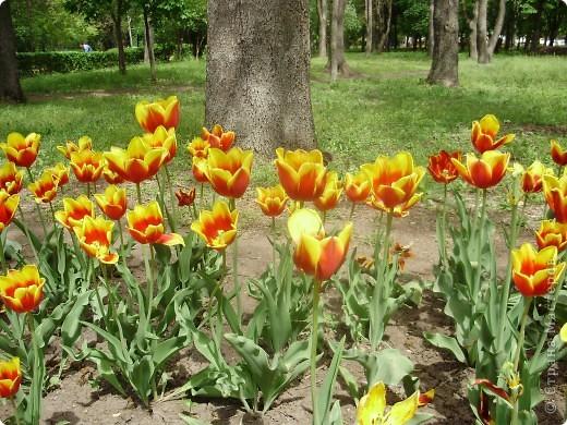 Каждый год в начале мая у нас в городе в дендропарке цветут тюльпаны . Описать эту красоту нельзя , ее нужно видить . Идешь по аллеям , смотришь по сторонам и душа радуется , сразу поднимается настроение . Тюльпаны все разные , глаза разбегаются . Весна -  чудесная  пора  года .Все цветет , буяет и понимаешь , что жизнь прекрасна . фото 5