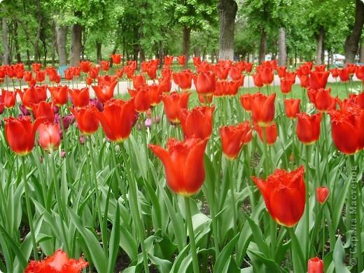 Каждый год в начале мая у нас в городе в дендропарке цветут тюльпаны . Описать эту красоту нельзя , ее нужно видить . Идешь по аллеям , смотришь по сторонам и душа радуется , сразу поднимается настроение . Тюльпаны все разные , глаза разбегаются . Весна -  чудесная  пора  года .Все цветет , буяет и понимаешь , что жизнь прекрасна . фото 6