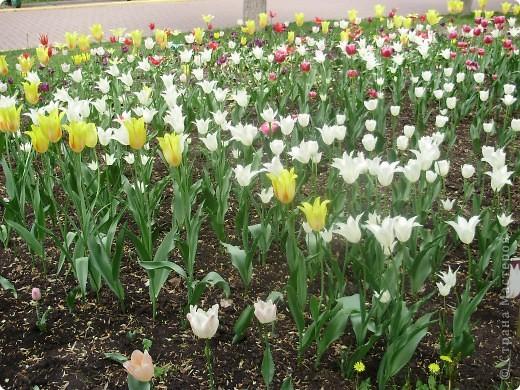 Каждый год в начале мая у нас в городе в дендропарке цветут тюльпаны . Описать эту красоту нельзя , ее нужно видить . Идешь по аллеям , смотришь по сторонам и душа радуется , сразу поднимается настроение . Тюльпаны все разные , глаза разбегаются . Весна -  чудесная  пора  года .Все цветет , буяет и понимаешь , что жизнь прекрасна . фото 7