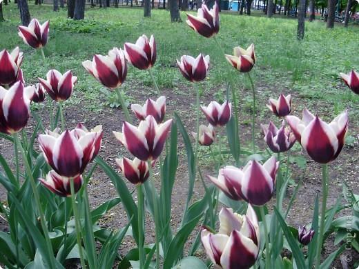 Каждый год в начале мая у нас в городе в дендропарке цветут тюльпаны . Описать эту красоту нельзя , ее нужно видить . Идешь по аллеям , смотришь по сторонам и душа радуется , сразу поднимается настроение . Тюльпаны все разные , глаза разбегаются . Весна -  чудесная  пора  года .Все цветет , буяет и понимаешь , что жизнь прекрасна . фото 9