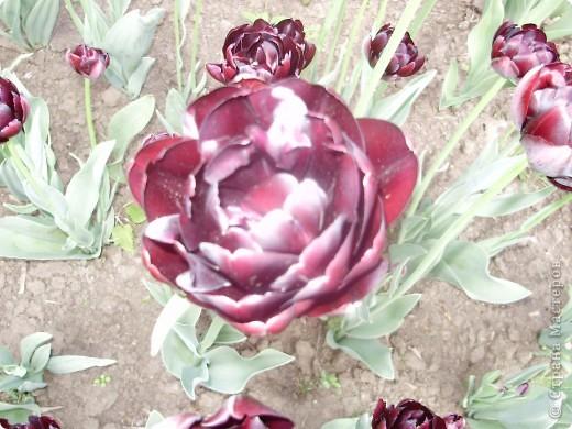 Каждый год в начале мая у нас в городе в дендропарке цветут тюльпаны . Описать эту красоту нельзя , ее нужно видить . Идешь по аллеям , смотришь по сторонам и душа радуется , сразу поднимается настроение . Тюльпаны все разные , глаза разбегаются . Весна -  чудесная  пора  года .Все цветет , буяет и понимаешь , что жизнь прекрасна . фото 11