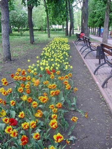 Каждый год в начале мая у нас в городе в дендропарке цветут тюльпаны . Описать эту красоту нельзя , ее нужно видить . Идешь по аллеям , смотришь по сторонам и душа радуется , сразу поднимается настроение . Тюльпаны все разные , глаза разбегаются . Весна -  чудесная  пора  года .Все цветет , буяет и понимаешь , что жизнь прекрасна . фото 30
