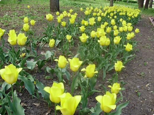Каждый год в начале мая у нас в городе в дендропарке цветут тюльпаны . Описать эту красоту нельзя , ее нужно видить . Идешь по аллеям , смотришь по сторонам и душа радуется , сразу поднимается настроение . Тюльпаны все разные , глаза разбегаются . Весна -  чудесная  пора  года .Все цветет , буяет и понимаешь , что жизнь прекрасна . фото 12
