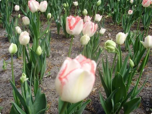 Каждый год в начале мая у нас в городе в дендропарке цветут тюльпаны . Описать эту красоту нельзя , ее нужно видить . Идешь по аллеям , смотришь по сторонам и душа радуется , сразу поднимается настроение . Тюльпаны все разные , глаза разбегаются . Весна -  чудесная  пора  года .Все цветет , буяет и понимаешь , что жизнь прекрасна . фото 13