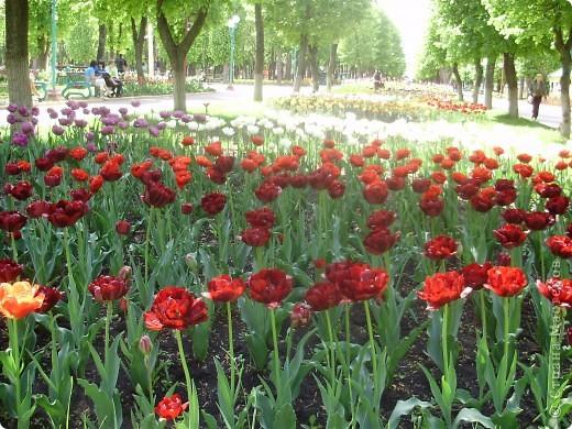 Каждый год в начале мая у нас в городе в дендропарке цветут тюльпаны . Описать эту красоту нельзя , ее нужно видить . Идешь по аллеям , смотришь по сторонам и душа радуется , сразу поднимается настроение . Тюльпаны все разные , глаза разбегаются . Весна -  чудесная  пора  года .Все цветет , буяет и понимаешь , что жизнь прекрасна . фото 21