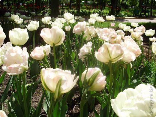 Каждый год в начале мая у нас в городе в дендропарке цветут тюльпаны . Описать эту красоту нельзя , ее нужно видить . Идешь по аллеям , смотришь по сторонам и душа радуется , сразу поднимается настроение . Тюльпаны все разные , глаза разбегаются . Весна -  чудесная  пора  года .Все цветет , буяет и понимаешь , что жизнь прекрасна . фото 15