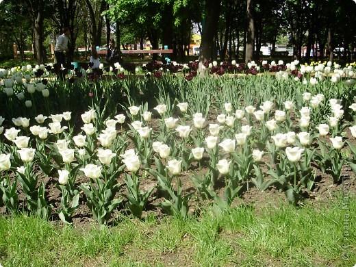 Каждый год в начале мая у нас в городе в дендропарке цветут тюльпаны . Описать эту красоту нельзя , ее нужно видить . Идешь по аллеям , смотришь по сторонам и душа радуется , сразу поднимается настроение . Тюльпаны все разные , глаза разбегаются . Весна -  чудесная  пора  года .Все цветет , буяет и понимаешь , что жизнь прекрасна . фото 23