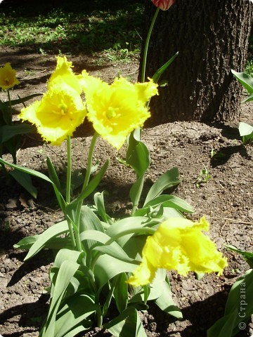 Каждый год в начале мая у нас в городе в дендропарке цветут тюльпаны . Описать эту красоту нельзя , ее нужно видить . Идешь по аллеям , смотришь по сторонам и душа радуется , сразу поднимается настроение . Тюльпаны все разные , глаза разбегаются . Весна -  чудесная  пора  года .Все цветет , буяет и понимаешь , что жизнь прекрасна . фото 31