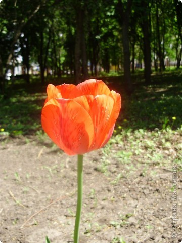 Каждый год в начале мая у нас в городе в дендропарке цветут тюльпаны . Описать эту красоту нельзя , ее нужно видить . Идешь по аллеям , смотришь по сторонам и душа радуется , сразу поднимается настроение . Тюльпаны все разные , глаза разбегаются . Весна -  чудесная  пора  года .Все цветет , буяет и понимаешь , что жизнь прекрасна . фото 33