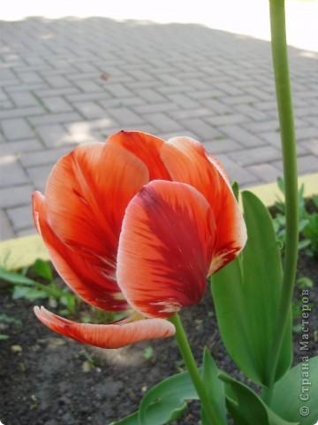 Каждый год в начале мая у нас в городе в дендропарке цветут тюльпаны . Описать эту красоту нельзя , ее нужно видить . Идешь по аллеям , смотришь по сторонам и душа радуется , сразу поднимается настроение . Тюльпаны все разные , глаза разбегаются . Весна -  чудесная  пора  года .Все цветет , буяет и понимаешь , что жизнь прекрасна . фото 34