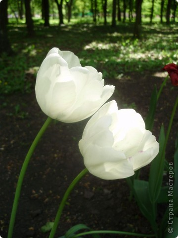 Каждый год в начале мая у нас в городе в дендропарке цветут тюльпаны . Описать эту красоту нельзя , ее нужно видить . Идешь по аллеям , смотришь по сторонам и душа радуется , сразу поднимается настроение . Тюльпаны все разные , глаза разбегаются . Весна -  чудесная  пора  года .Все цветет , буяет и понимаешь , что жизнь прекрасна . фото 35