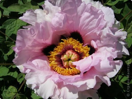 Всех любителей цветов приглашаю полюбоваться древовидными пионами! Не обращайте внимания на дату,Это что то не то нажала. фото 2