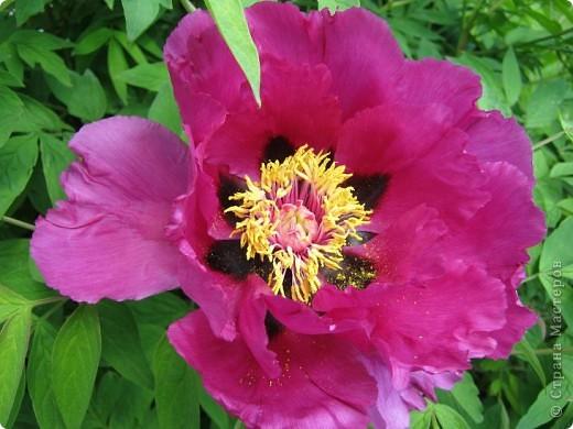 Всех любителей цветов приглашаю полюбоваться древовидными пионами! Не обращайте внимания на дату,Это что то не то нажала. фото 7