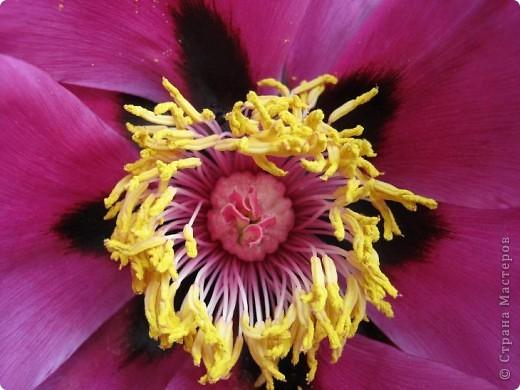 Всех любителей цветов приглашаю полюбоваться древовидными пионами! Не обращайте внимания на дату,Это что то не то нажала. фото 8