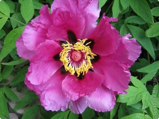 Всех любителей цветов приглашаю полюбоваться древовидными пионами! Не обращайте внимания на дату,Это что то не то нажала. фото 9