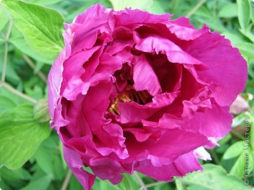 Всех любителей цветов приглашаю полюбоваться древовидными пионами! Не обращайте внимания на дату,Это что то не то нажала. фото 10