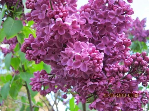 Всех любителей цветов приглашаю полюбоваться древовидными пионами! Не обращайте внимания на дату,Это что то не то нажала. фото 13