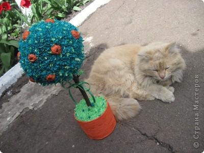 Мой котик с апельсиновым деревцем) фото 1