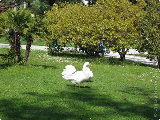 """Парк """"Дендрарий"""" в городе Сочи Это """"нижняя"""" часть парка где созданы пруды для обитания водоплавающей птицы и животных. Черный лебедь фото 7"""