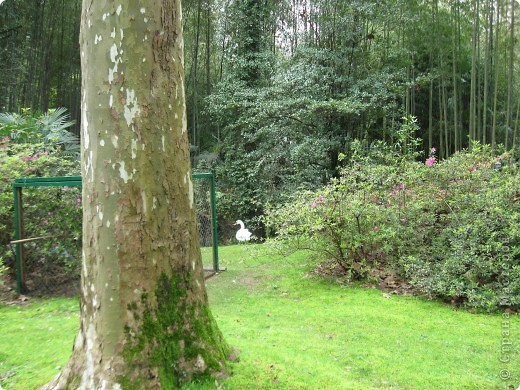 """Парк """"Дендрарий"""" в городе Сочи Это """"нижняя"""" часть парка где созданы пруды для обитания водоплавающей птицы и животных. Черный лебедь фото 2"""