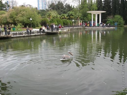"""Парк """"Дендрарий"""" в городе Сочи Это """"нижняя"""" часть парка где созданы пруды для обитания водоплавающей птицы и животных. Черный лебедь фото 5"""