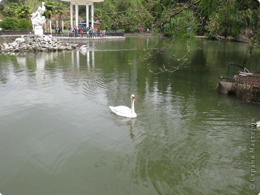 """Парк """"Дендрарий"""" в городе Сочи Это """"нижняя"""" часть парка где созданы пруды для обитания водоплавающей птицы и животных. Черный лебедь фото 6"""