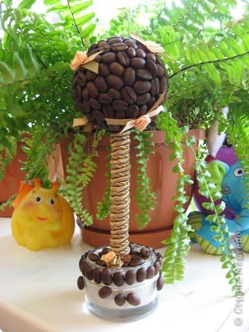 Ещё одно кофейное деревце я вырастила в подарок очень хорошему человеку - крестной моего младшего сына. Она большая любительница кофе, надеюсь подарок оценит. А мое первое дерево можно посмотреть здесь http://stranamasterov.ru/node/155462 фото 2