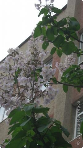 Павлония .. -цветет голубыми колокольчиками  очень красивое дерево