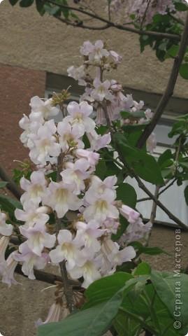 Павлония .. -цветет голубыми колокольчиками  очень красивое дерево фото 3