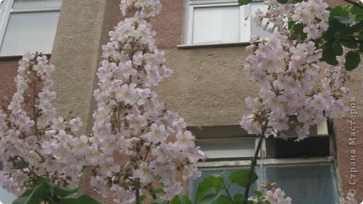 Павлония .. -цветет голубыми колокольчиками  очень красивое дерево фото 2