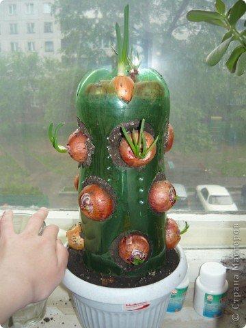 Луковый кактус